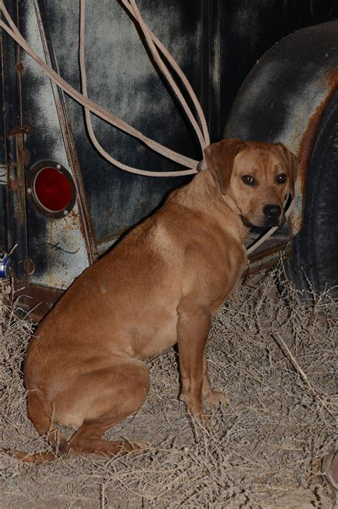 black mouth cur pictures dog breeds picture