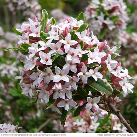 17 Best Images About Daphne On Pinterest  Gardens, White