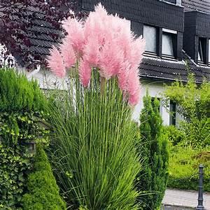 Blumen Für Sonnigen Standort : rosa pampasgras von g rtner p tschke ~ Michelbontemps.com Haus und Dekorationen