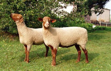 Tunis sheep | petmapz by Dr. Katz, Your veterinarian ...