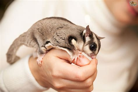 sugar glider cage how to create a lovely environment for sugar gliders