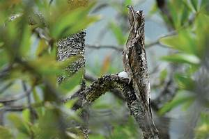 This South American Potoo Bird Can Camouflage Itself As A