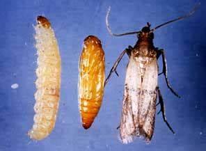 Larve Mite Alimentaire : une guerre finir contre les mites alimentaires ~ Nature-et-papiers.com Idées de Décoration