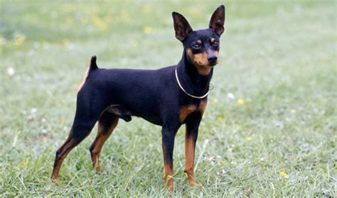 do miniature doberman pinschers shed miniature doberman pinscher pets world