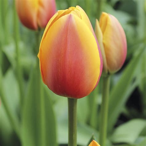 world s best tulip bulb collection from mr fothergill s