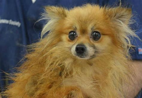 dogs rescued  houston home ready  adoption abccom