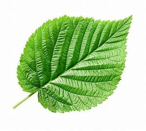 Single green leaf on white background (isolated with path ...