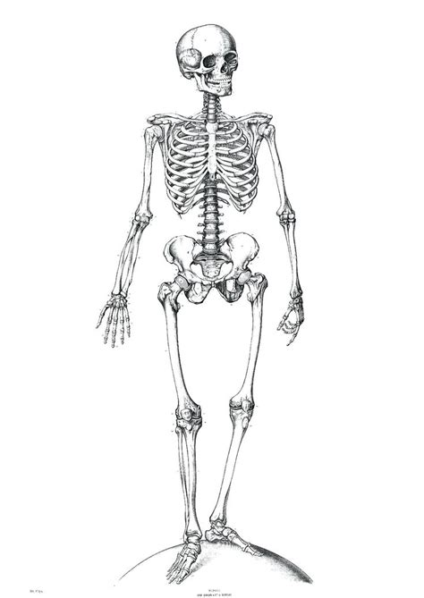 Human Diagram Unlabeled by Unlabeled Diagram Of The Human Skeleton Education Subject