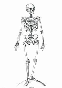 Unlabeled Diagram Of The Human Skeleton