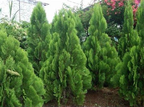 jenis pohon cemara  harga bibit pohon cemara bibit