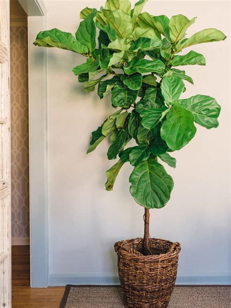 faux fiddle leaf indoor fig tree imgkid com the image kid has it