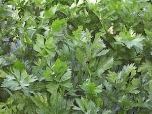 Apium graveolens L. - wild celery