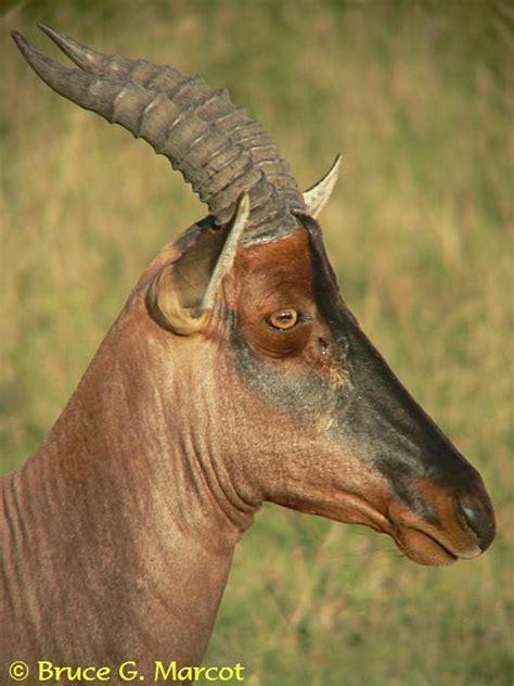 epow ecology of the week topi of the savanna