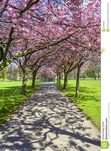 immagine fiore rosa percorso della primavera in parco con il fiore di ciliegia