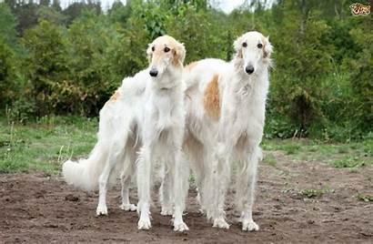 Borzoi Breed Health Dog Breeds Borzois Disorders