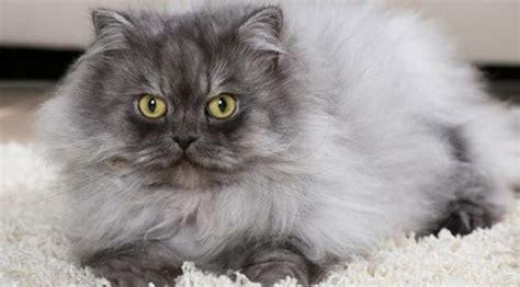 chat persan gris le chat choisir un m 226 le ou une femelle webonosaure