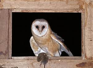 Nocturnal birds of prey: the barn owl, legends and myths ...