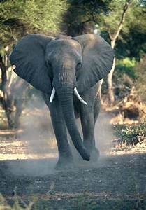 Elephant Front View With Trunk Up