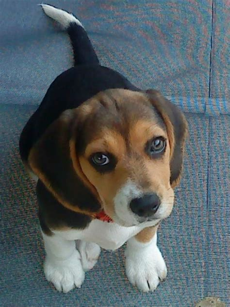 pin  beagle planet  beagle mix dogs beagle cute
