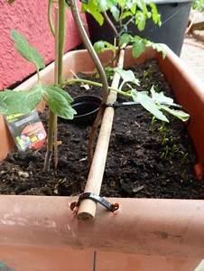 Tomaten Balkon Kübel : tomaten pflanzen im garten und auf dem balkon nat rlicher d nger und vor krankheiten sch tzen ~ Yasmunasinghe.com Haus und Dekorationen