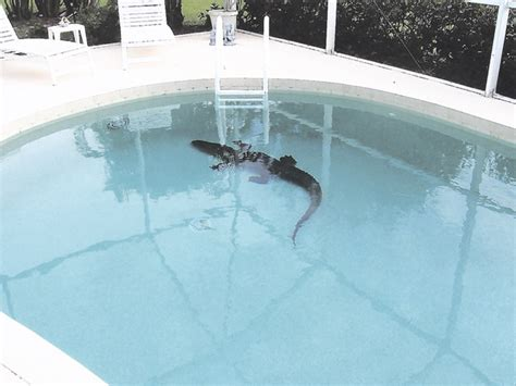 Surprise! Gator In The Pool