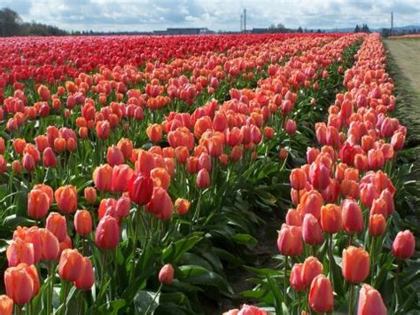 tulip farms in usa 7 tulip farms to visit in america how to visit tulip farms