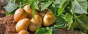 Période Pour Planter Les Pommes De Terre : p riode pour planter les pommes de terre planter des ~ Melissatoandfro.com Idées de Décoration