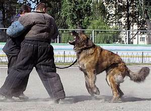 Russian Prison Guard Dogs and the Caucasion Ovcharka