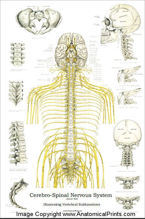 """Spinal Nerves and Subluxations Poster - 24"""" X 36"""