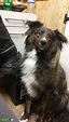 Stud Dog - Brindle Border x Beared Collie - Breed Your Dog