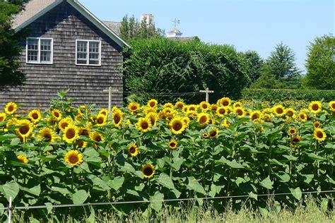 htons gardens top 28 sunflowers in garden sunflower pics flowers growing concrete backyard gustave