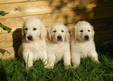 stunning shades  golden retriever colors guide