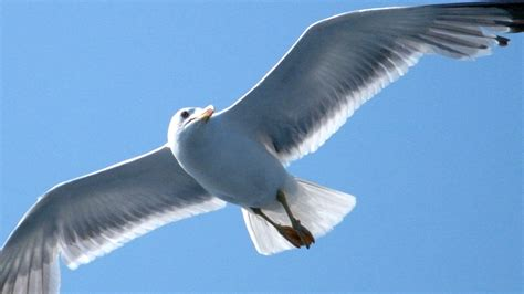 gaviota volando fondos de pantalla gaviota volando fotos