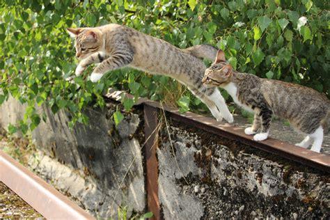 cat spotted rusty cats baby kitten lynx jump wild ocelot savannah bobcat bengal bob mammal vertebrate fauna pixie sized wildlife