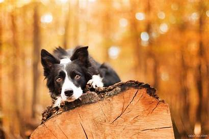 Collie Border Dog Wallpapers Background Dogs 1200