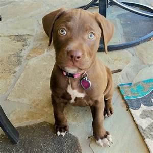 Chocolate Lab / Pitbull puppy | Puppy :) | Pinterest ...