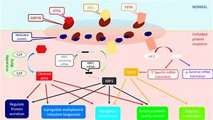 The Upr Downstream Signaling Pathway  The Upr Signal