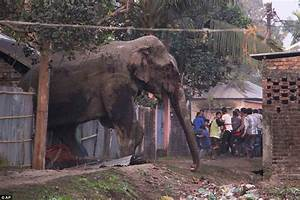 Bloodied elephant rampages through West Bengal in India ...