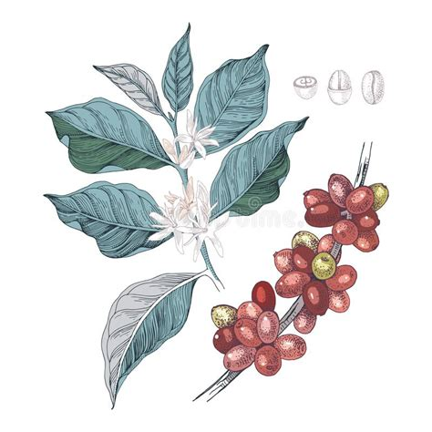 Line drawing pics 1244x1300 coffee bean drawing seed clipart coffee bean 640x480 the images collection of natural branch coffee bean plant drawing Hand Drawn Illustration Of Coffee Branches With Seeds, Fruits And Flowers. Stock Vector ...