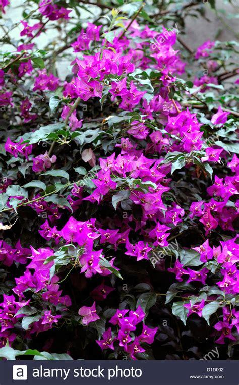 Bougainvillea Spectabilis Pink Flowers Flowering Booms