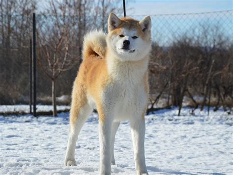 do pomskies shed bad 100 do akitas shed bad 100 do american akitas shed