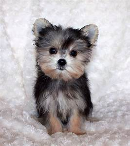 morkie puppy for sale Archives   iHeartTeacups