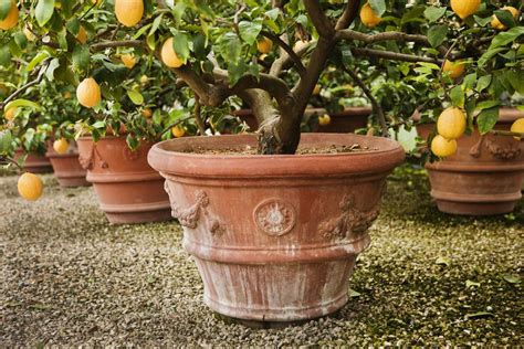 lemon trees grow meyer dwarf fruit citrus yard container tree zone pot potted growing front any orchard door gardens arboles