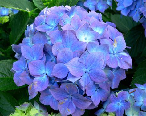 hydrangea flower hydrangea macrophylla blauer prinz blauer prinz bigleaf hydrangea plant lust