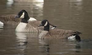 Lesser Canada Goose? by Drew Weber | Nemesis Bird  Lesser
