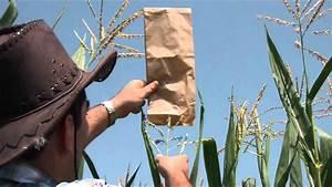 Oryctes Com - Come Effettuare L U0026 39 Impollinazione Manuale Del Mais