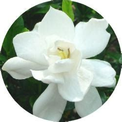 Gardenia Allergy by 17 Best Ideas About Gardenia Bush On Gardenia