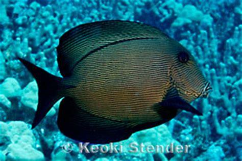 chevron tang ctenochaetus hawaiiensis