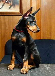 Best 20+ Warlock doberman ideas on Pinterest | Doberman ...