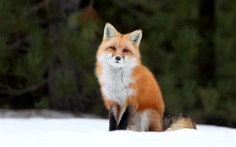 fox wallpapers hd pixelstalknet